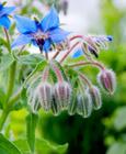 Roślina ogórecznik lekarski