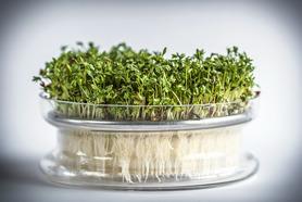 Kiełkownica szklana miska z sitkiem + nasiona rzeżuchy