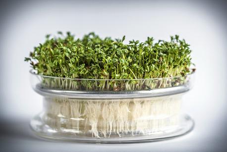Kiełkownica szklana miska z sitkiem + nasiona rzeżuchy (1)