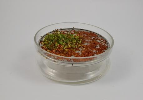 Kiełkownica szklana miska z sitkiem + nasiona rzeżuchy (4)